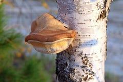 Piptoporus betulinus Młody hubka grzyba zbliżenie zdjęcia royalty free