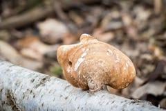 Piptoporus betulinus - woodsfailing, ätlig healthful champinjon royaltyfri fotografi