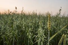 Piqûre d'oreilles de blé sur un champ d'avoine Fermez sur les oreilles vertes du blé dans le terrain en ciel de coucher du soleil photographie stock libre de droits