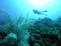Piqué Bahamas Photo libre de droits