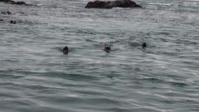 Piqué de joint de fourrure dans l'eau de l'océan pacifique sur la côte de fond en Alaska banque de vidéos