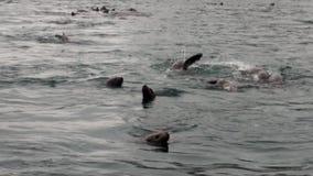Piqué de joint de fourrure dans l'eau de l'océan pacifique sur la côte de fond en Alaska clips vidéos