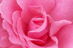 Pique color de rosa Foto de archivo libre de regalías