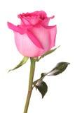 Pique color de rosa con gotas del agua Fotografía de archivo libre de regalías