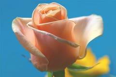 Pique color de rosa en azul de cielo Imagen de archivo libre de regalías