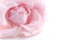 Rosa do rosa Fotos de Stock Royalty Free