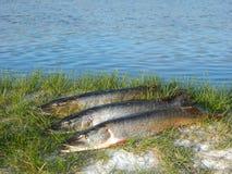 Pique dos peixes Imagem de Stock Royalty Free