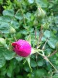 Pique el brote de Rose Foto de archivo libre de regalías