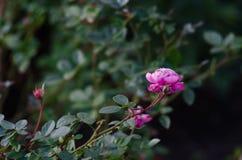 Pique el brote de Rose Fotografía de archivo
