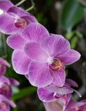 Pique el Phalaenopsis Foto de archivo libre de regalías