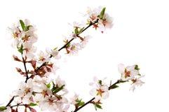 Pique a flor de cereja Foto de Stock