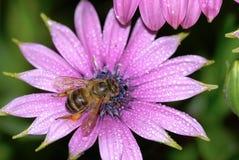 Pique a flor do crisântemo Imagens de Stock Royalty Free