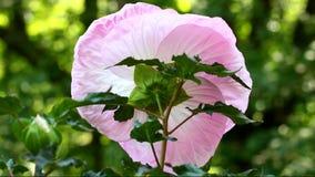 Pique a flor do hibiscus video estoque