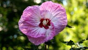 Pique a flor do hibiscus vídeos de arquivo