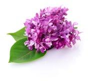 Pique a flor do lilac Fotos de Stock Royalty Free