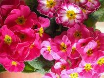 Pique a flor do primrose Imagens de Stock