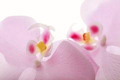 Pique flores coloridas - fundo delicado do branco das cores Fotografia de Stock Royalty Free