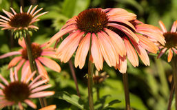 Pique flores do Echinacea Fotografia de Stock