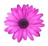 Pique la flor de Osteosperumum Fotos de archivo