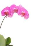 Pique la orquídea Imagenes de archivo