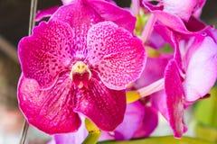 Pique la orquídea de Vanda fotografía de archivo