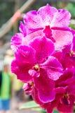 Pique la orquídea de Vanda imagen de archivo