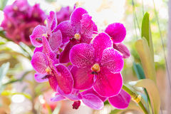 Pique la orquídea de Vanda foto de archivo