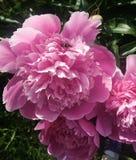 Pique las flores en un jardín Fotografía de archivo