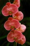 Pique las orquídeas fotografía de archivo