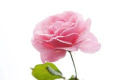 Pique las rosas imagen de archivo