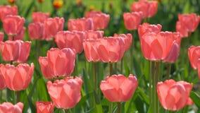 Pique los tulipanes almacen de metraje de vídeo