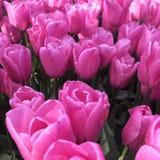 Pique los tulipanes Imágenes de archivo libres de regalías