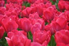 Pique los tulipanes Foto de archivo
