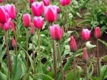 Pique los tulipanes Foto de archivo libre de regalías