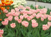 Pique los tulipanes Imagenes de archivo