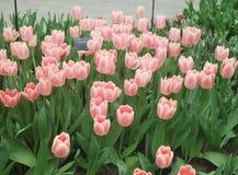 Pique los tulipanes Fotografía de archivo libre de regalías