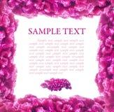 Pique o frame do celosia das flores Imagem de Stock