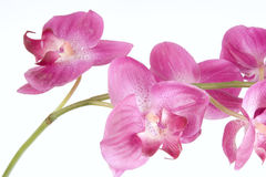Pique a orquídea Imagem de Stock Royalty Free