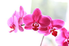 Pique orquídeas Imagem de Stock Royalty Free