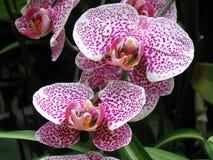 Pique orquídeas fotografia de stock royalty free