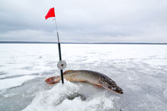 Pique travado na pesca do inverno no gelo Imagens de Stock Royalty Free