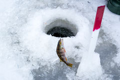 Pique travado na pesca do inverno no gelo foto de stock