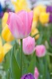 Pique a tulipa imagens de stock