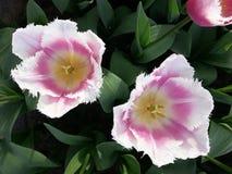 Pique tulips Fotografia de Stock