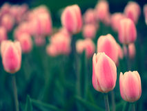 Pique tulips Fotografia de Stock Royalty Free
