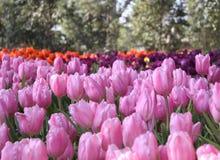 Pique tulips Fotos de Stock