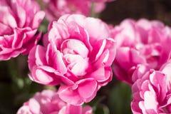 Pique tulips Foto de Stock