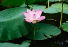Pique Waterlily Imagens de Stock