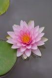 Pique Waterlily Imagens de Stock Royalty Free