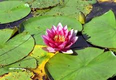 Pique Waterlily Fotos de archivo libres de regalías